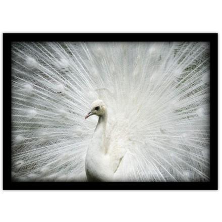 Παγόνι με λευκά φτερά