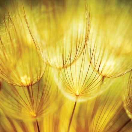 Κίτρινη πικραλίδα