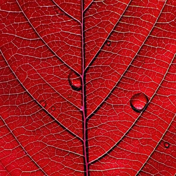 Κόκκινο φύλλο