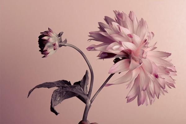 Άνθος λουλουδιού σε ροζ τοίχο
