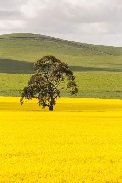 Δέντρο στο κίτρινο λιβάδι