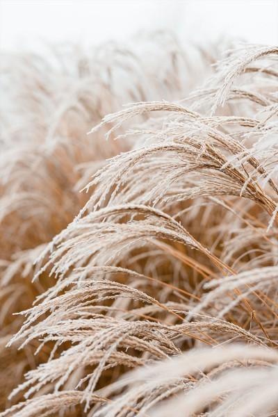Beige grass
