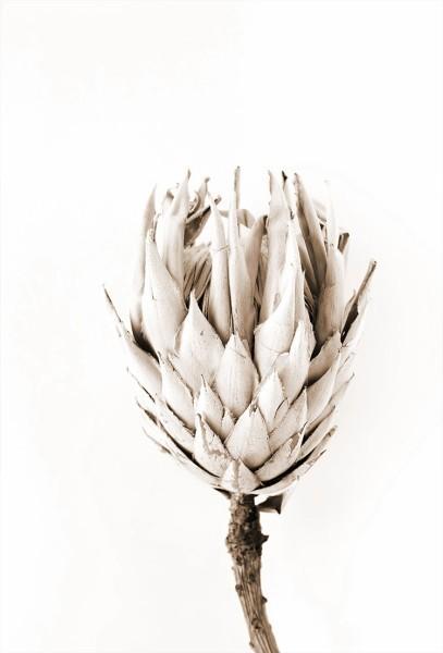 Λευκή αγκινάρα