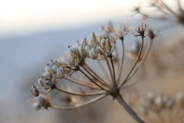 Φυτό του αγρού