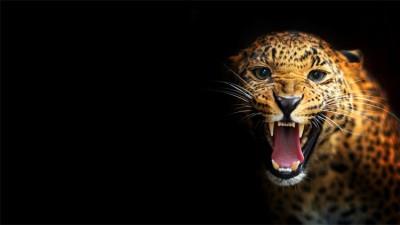 Τίγρης!, Ζώα, Image Gallery