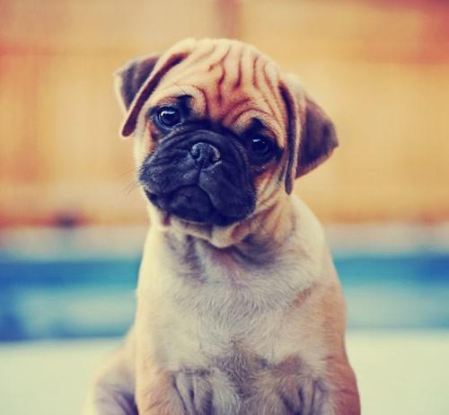 Σκυλάκι pug