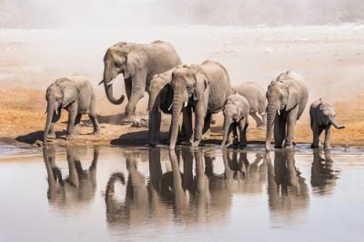 Οικογένεια των ελεφάντων, Ζώα, Image Gallery