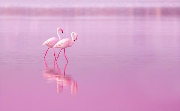 Ροζ φλαμίνγκο