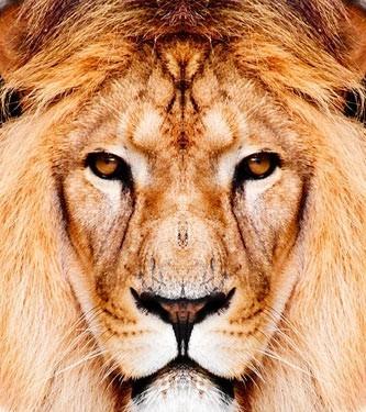 Λιοντάρι, Ζώα, Image Gallery