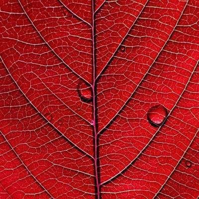 Κόκκινο φύλλο, Φόντο - Τοίχοι, Image Gallery