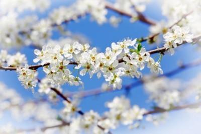 Άνθη κερασίας
