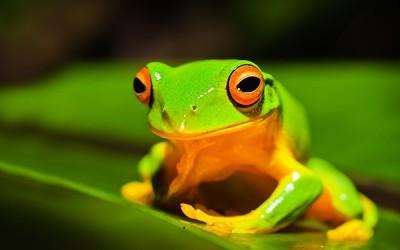 Βάτραχος Αυστραλίας, Ζώα, Image Gallery