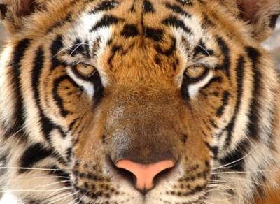 Τίγρη της Βεγγάλης, Ζώα, Image Gallery
