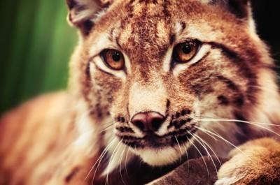 Μουσούδα της τίγρης, Ζώα, Image Gallery