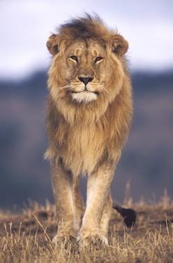 Ο βασιλιάς της ζούγκλας